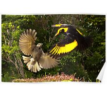Pair of Regent Bower Birds, Lamington NP,Australia Poster