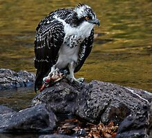 Osprey Eating Fish by by M LaCroix