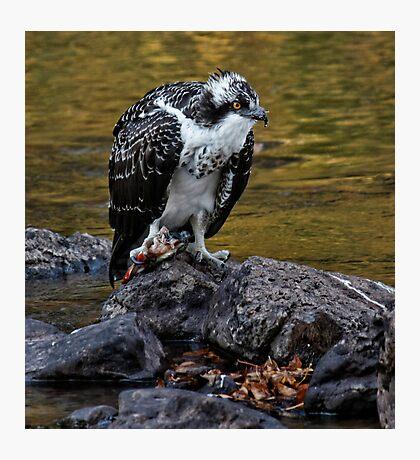 Osprey Eating Fish Photographic Print