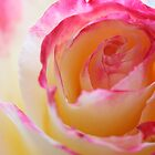 My favourite Rose by Melani