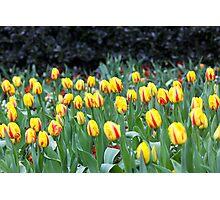 Tulips at Regent Park Photographic Print