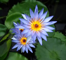 Water Lily by Janet Leadbeater