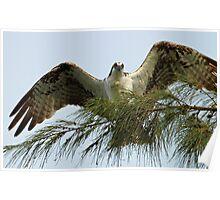 osprey displaying wingspan Poster