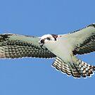 Osprey in flight 2 by jozi1