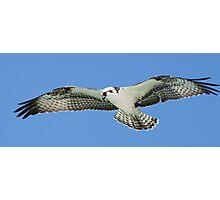 Osprey in flight 2 Photographic Print