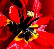 Flora, Tulips by photoj