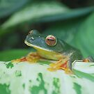 Wallaces gliding frog by madhusoodanan