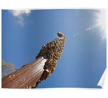 Australian grass tree, Xanthorrhoea or black boy  Poster