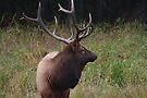 Bull elk I by zumi