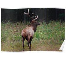 Bull elk II Poster