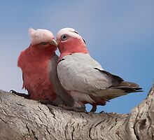 "Galahs ~ ""True Love"" by Robert Elliott"