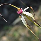 Spider Orchid - Mt Crawford Forest . SA by Michael Tapping