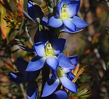 Great Sun Orchid by patapping