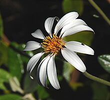 Olearia Pannosa by patapping
