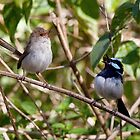 A pair of Blue Wrens sing together. by Cindy McDonald