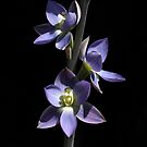 ~ Giant Sun Orchid ~ by LeeoPhotography