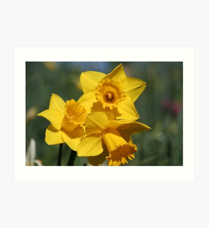 Golden Daffs Art Print