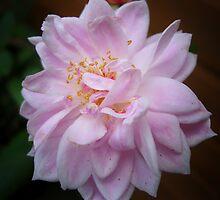 Pale Pink Rose   Macro  by Karen  Betts
