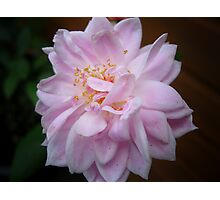 Pale Pink Rose   Macro  Photographic Print
