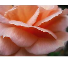 Peach Petals  Macro  Dads rose Photographic Print