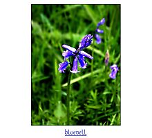 Bluebell #2 Photographic Print
