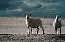 Gaz's Sheep [IR] by George Parapadakis (monocotylidono)