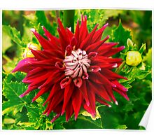 Dahlia In Bloom 18 Poster