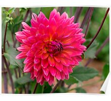 Dahlia In Bloom 19 Poster