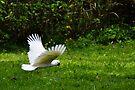 sulphur-crested cockatoo ii by gary roberts