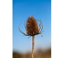 Teasel Photographic Print