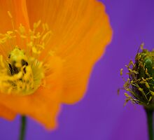 Poppy Before and After by Lisa Knechtel