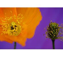 Poppy Before and After Photographic Print