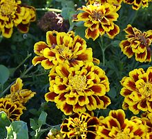 Marigolds by Loisb