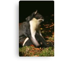 Diana Monkey Looking Up Canvas Print