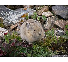 Mountain Pika Photographic Print