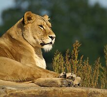 Lioness by Tony Walton