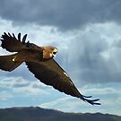 Angry Hawk by SB  Sullivan