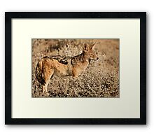 Etosha jackal pose Framed Print