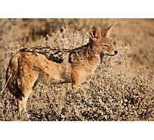Etosha jackal pose Photographic Print