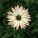 African Daisy III by photosbycoleen