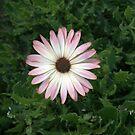 African Daisy IV by photosbycoleen