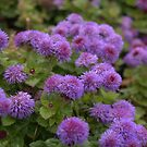 Ageratum - Tycoon Purple by photosbycoleen