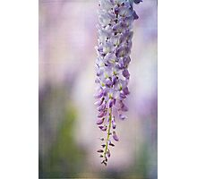 ~ wisteria bloom ~ Photographic Print