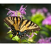 Sipping Nectar Photographic Print