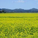 You Yangs and canola by Anne van Alkemade