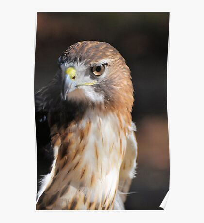 Red-Tail Hawk Poster