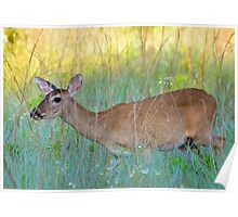 Deer in the grass Poster