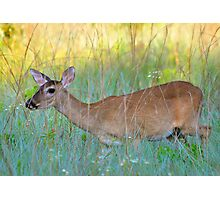 Deer in the grass Photographic Print