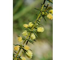 Spiny Wattle Photographic Print