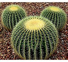 Mickey Mouse Barrel Cactus Photographic Print